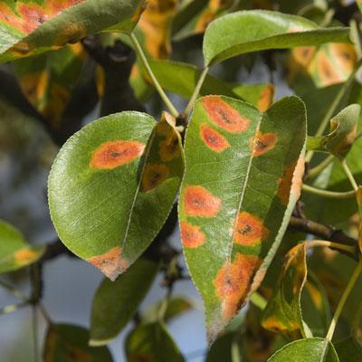 Výsledek obrázku pro rust pear tree