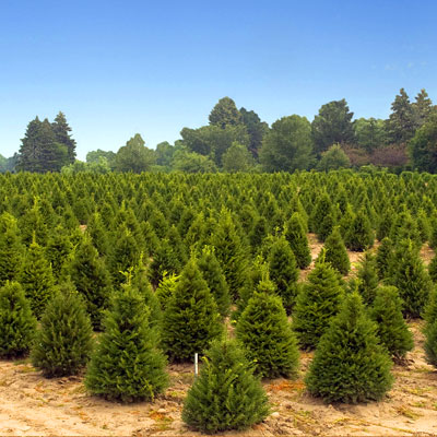 christmass tree growing our real christmas - Real Christmas Tree Prices